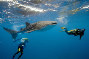 Travel Guide to Maldives. Scuba Diving with a whale shark